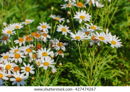 Lush green grasses and crisp white oxeye daisies (shallow depth of field) - stock photo