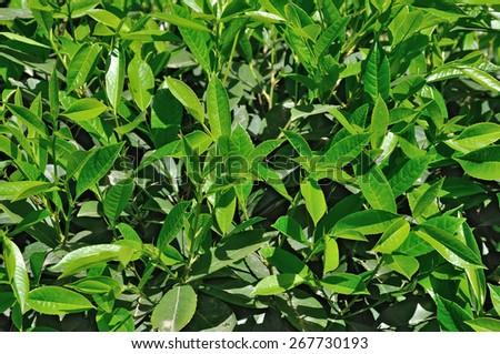 Lush green leaves foliage closeup nature background - stock photo