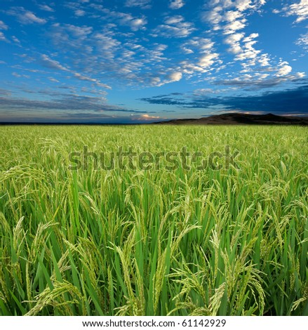 Lush green rice field with a blue sky and clouds - stock photo