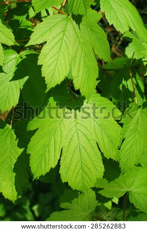 lush green springtime leaves bathed in sunlight - stock photo