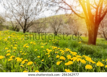 Lush morning meadows with bloomy dandelion flowers - stock photo