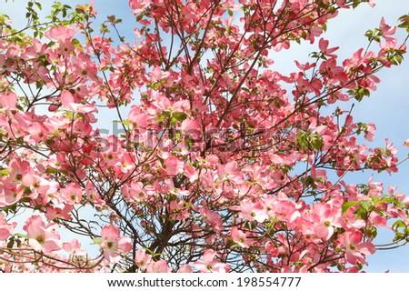 Lush pink Dogwood blossoms on blue sky background - stock photo