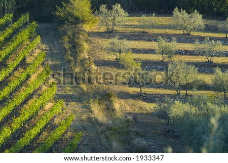 Lush ripe grapes on the vine 04 - stock photo