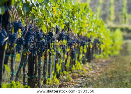 Lush ripe grapes on the vine 07 - stock photo
