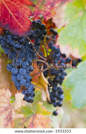 Lush ripe grapes on the vine 10 - stock photo