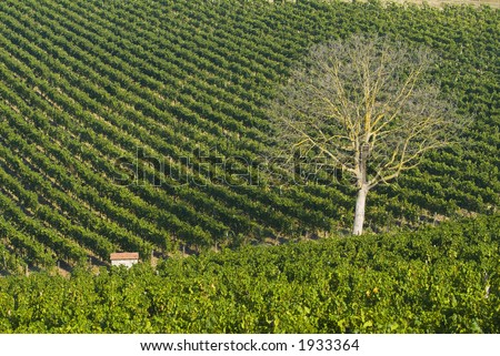Lush ripe grapes on the vine 21 - stock photo