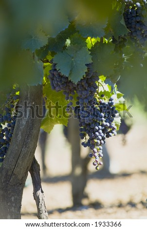 Lush ripe grapes on the vine 23 - stock photo