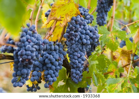 Lush ripe grapes on the vine 25 - stock photo