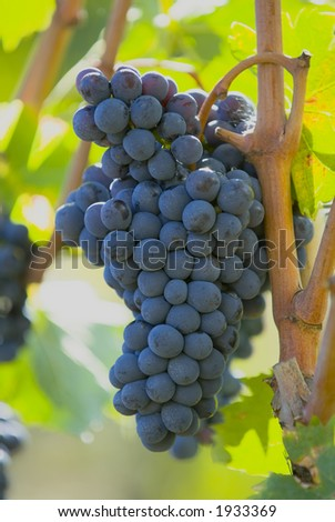Lush ripe grapes on the vine 26 - stock photo
