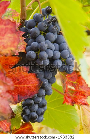 Lush ripe grapes on the vine 39 - stock photo