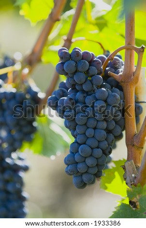 Lush ripe grapes on the vine 43 - stock photo