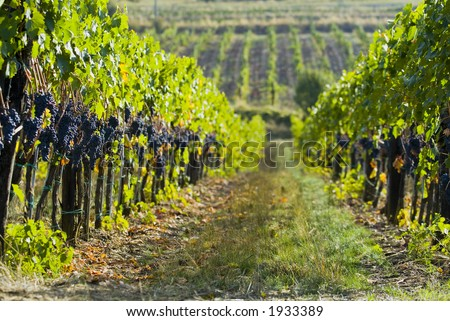 Lush ripe grapes on the vine 46 - stock photo