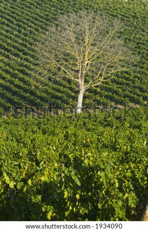 Lush ripe grapes on the vine 52 - stock photo