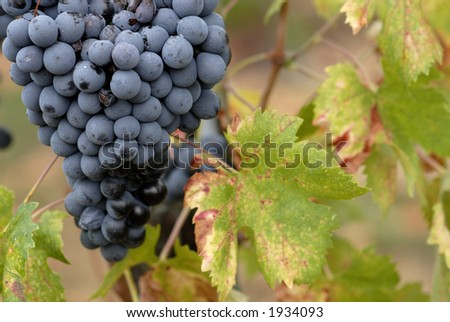Lush ripe grapes on the vine 55 - stock photo