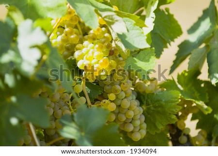 Lush ripe grapes on the vine 56 - stock photo