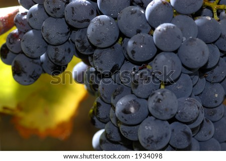 Lush ripe grapes on the vine 60 - stock photo