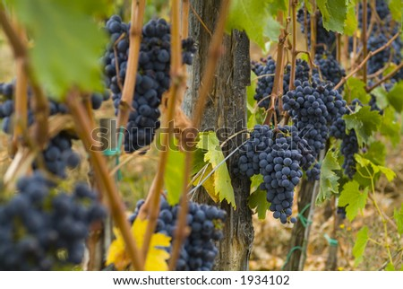 Lush ripe grapes on the vine 64 - stock photo