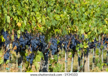 Lush ripe grapes on the vine 65 - stock photo