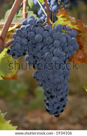 Lush ripe grapes on the vine 68 - stock photo