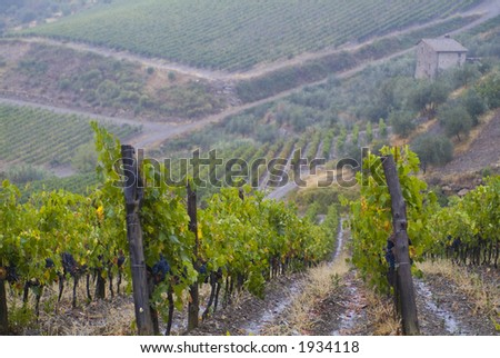 Lush ripe grapes on the vine 80 - stock photo