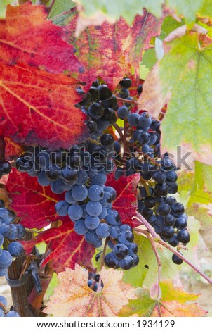 Lush ripe grapes on the vine 91 - stock photo