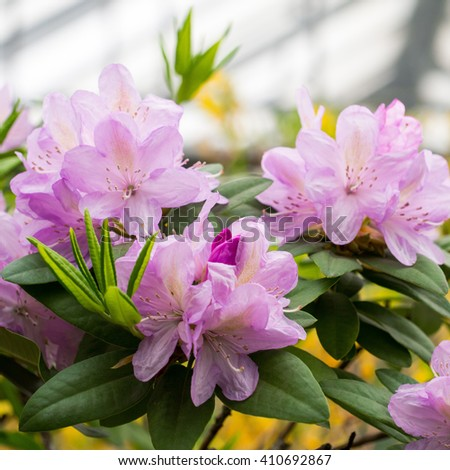 Lush sprawling branch of rhododendron with rose-lilac flowers - stock photo
