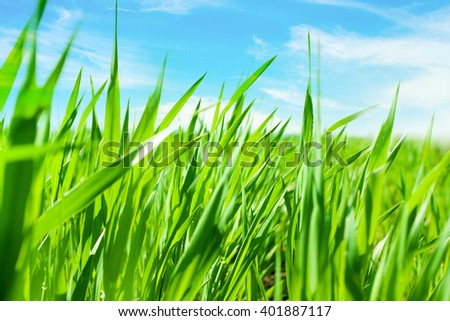 Lush spring green grass with blue sky background - stock photo