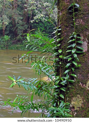 Lush vegetation, Mossman gorge rainforest in Australia - stock photo