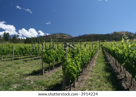Lush Vineyard - stock photo