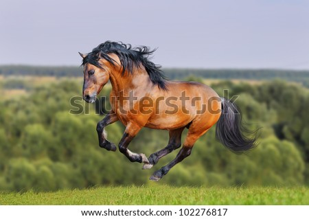 lusitano bay horse runs free in the summer hill - stock photo