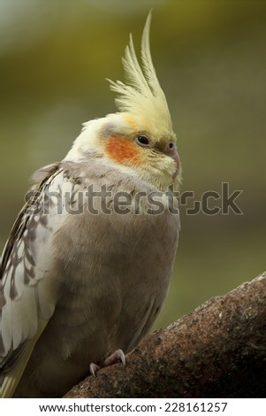 Lutino cockatiel - stock photo
