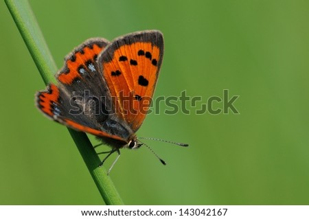 Lycaena phlaeas - stock photo