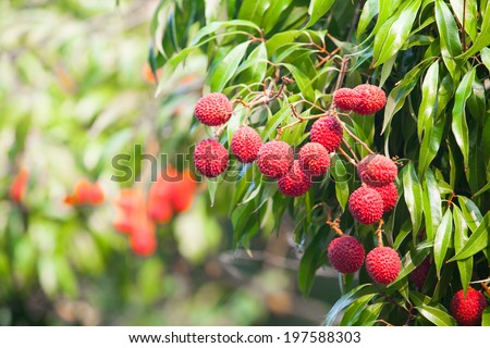 lychee fruit on the tree. in the garden of thailand - stock photo