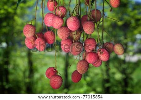 Lychee fruite Closeup. - stock photo