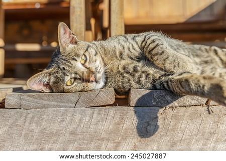 lying cat on wooden floor on morning light - stock photo