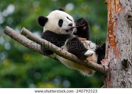 Lying cute young Giant Panda feeding feeding bark of tree - stock photo