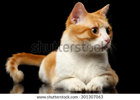 Lying Ginger Cat Surprised Looking at Right on Black Mirror background  - stock photo