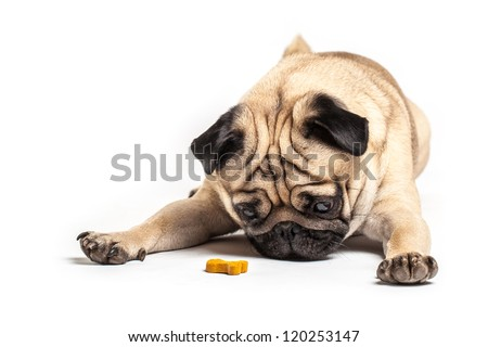 Lying Pug with treat, isolated on White Background. Focus on eyes - stock photo