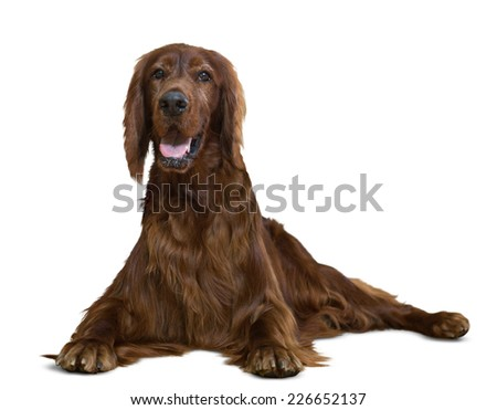 Lying Red Irish Setter. Isolated  - stock photo