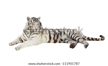 lying white tiger. Isolated  over white background with shade - stock photo