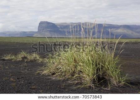 Lyme grass in a black sand at Iceland - stock photo