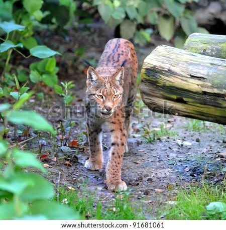 Lynx - stock photo