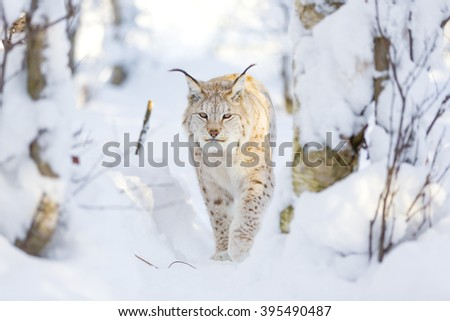 Lynx cat walks in the cold winter forest - stock photo
