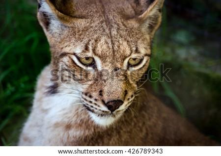 Lynx close up - stock photo