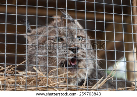 Lynx in cage. Springwater Provincial Park, Ontario, Canada - stock photo
