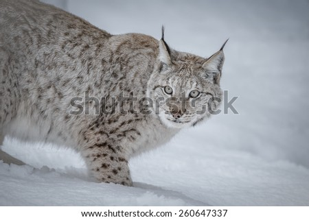 Lynx in deep snow - stock photo