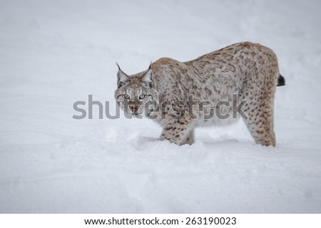Lynx in snow - stock photo