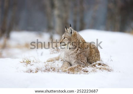 Lynx lies and rests in the snow - stock photo