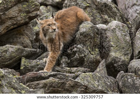 Lynx/Lynx/Czech Republic - stock photo