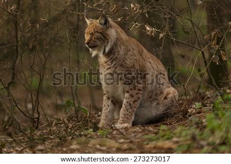 Lynx lynx. Eurasian Lynx in forest. - stock photo